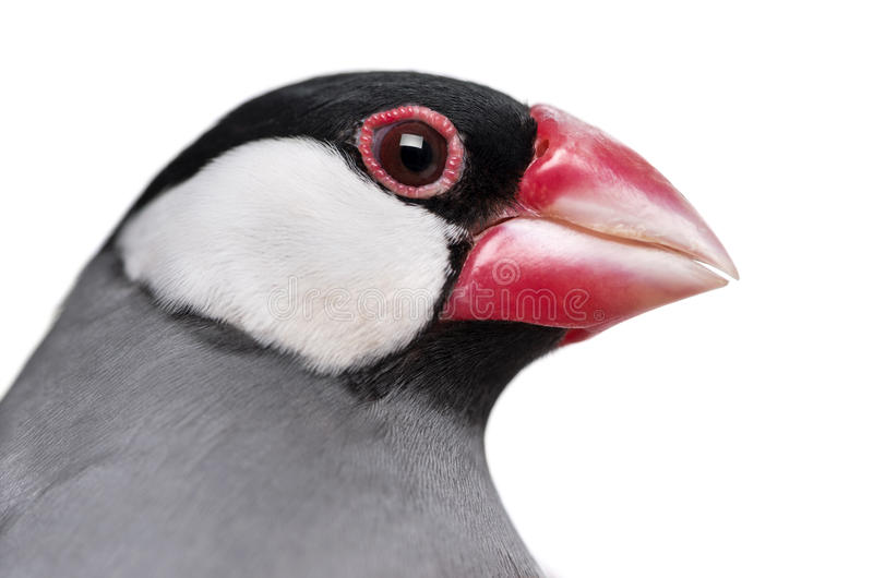 Download Close-up Of A Java Sparrow- Padda Oryzivora Stock Photo - Image: 30340628