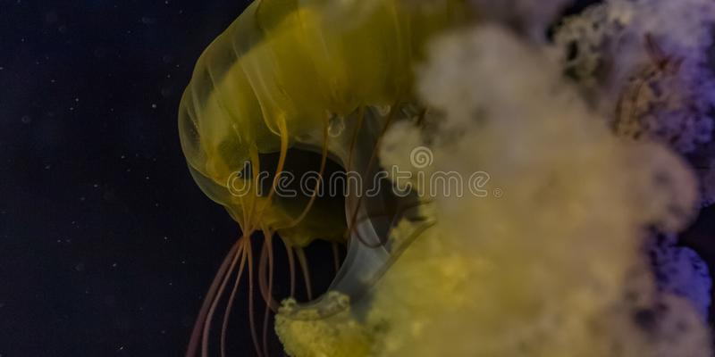 Close up of a jellyfish against a dark background royalty free stock photo