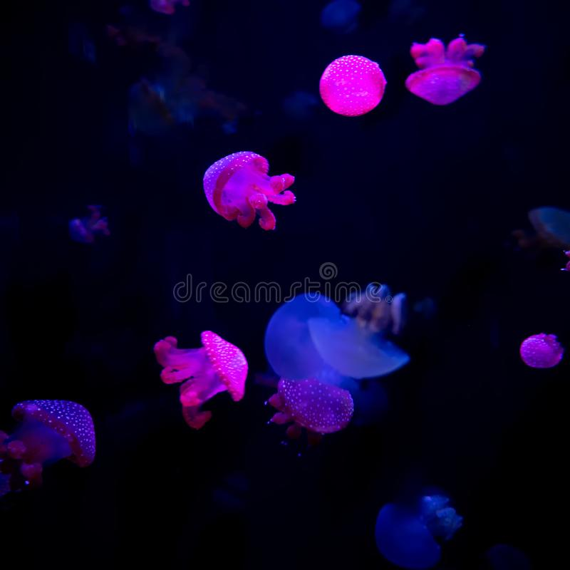 Close-up Jellyfish, Medusa in fish tank with neon light. Jellyfish is free-swimming marine coelenterate with a jellylike bell- or. Saucer-shaped body that is royalty free stock photo
