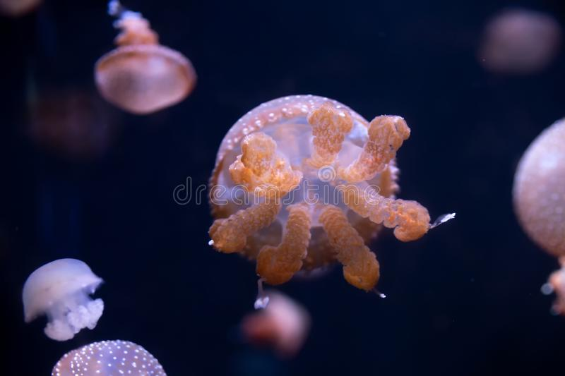 Close-up Jellyfish, Medusa in fish tank with neon light. Jellyfish is free-swimming marine coelenterate with a jellylike bell- or. Saucer-shaped body that is stock photos