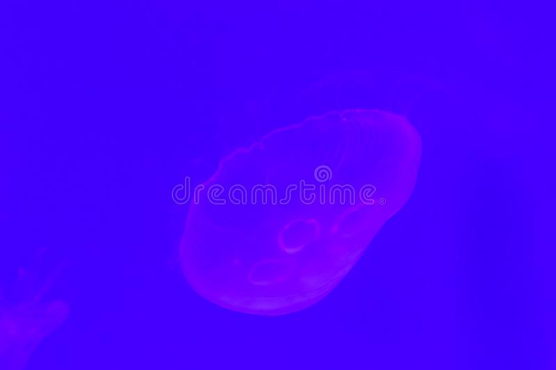 Close-up Jellyfish, Medusa in fish tank with neon light. Jellyfish is free-swimming marine coelenterate with a jellylike bell- or. Saucer-shaped body that is stock photography