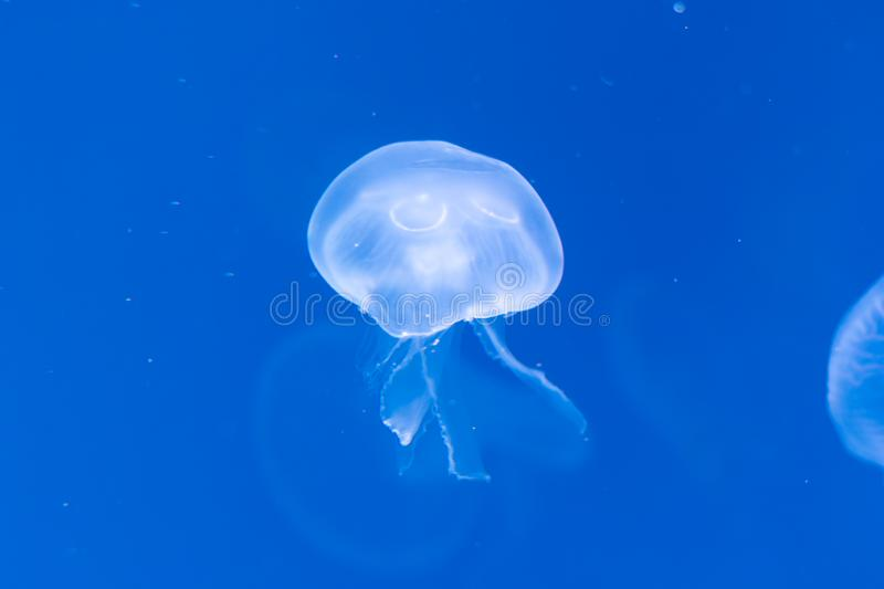 Close-up Jellyfish, Medusa in fish tank with neon light. Jellyfish is free-swimming marine coelenterate with a jellylike bell- or. Saucer-shaped body that is royalty free stock image