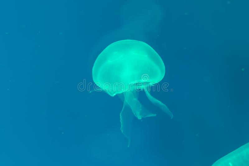 Close-up Jellyfish, Medusa in fish tank with neon light. Jellyfish is free-swimming marine coelenterate with a jellylike bell- or. Saucer-shaped body that is stock image