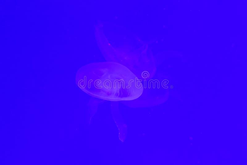 Close-up Jellyfish, Medusa in fish tank with neon light. Jellyfish is free-swimming marine coelenterate with a jellylike bell- or. Saucer-shaped body that is stock images