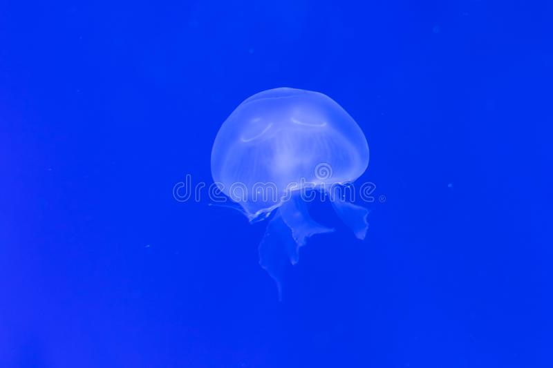 Close-up Jellyfish, Medusa in fish tank with neon light. Jellyfish is free-swimming marine coelenterate with a jellylike bell- or. Saucer-shaped body that is stock photo