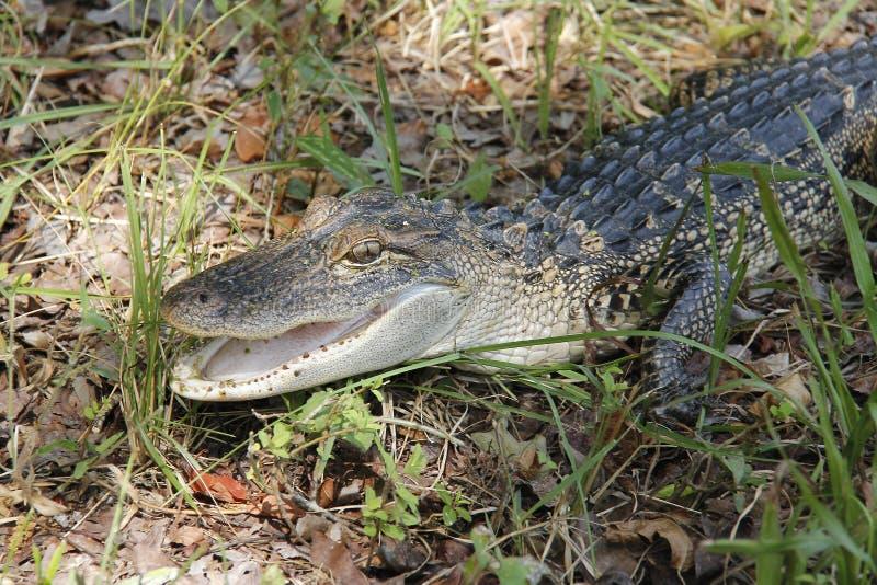 Juvenile Alligator Close-up stock photos