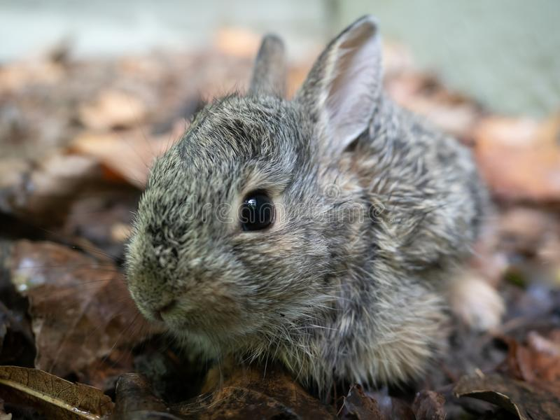 Close Up of Juvenile Cottontail Rabbit. Close up of a juvenile cottontail rabbit surrounded by dried leaves. Photographed with shallow depth of field royalty free stock photography