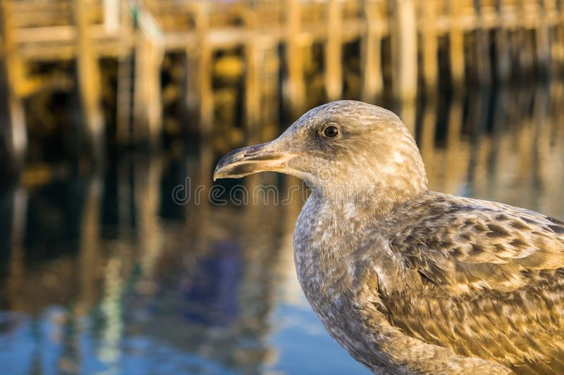 Close up of a juvenile Herring Gull, blurred harbor pier in the background; Morro bay, California royalty free stock images