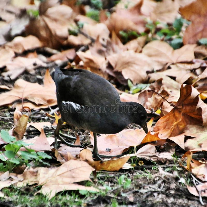 A close up of a Juvenile Moorhen stock photography