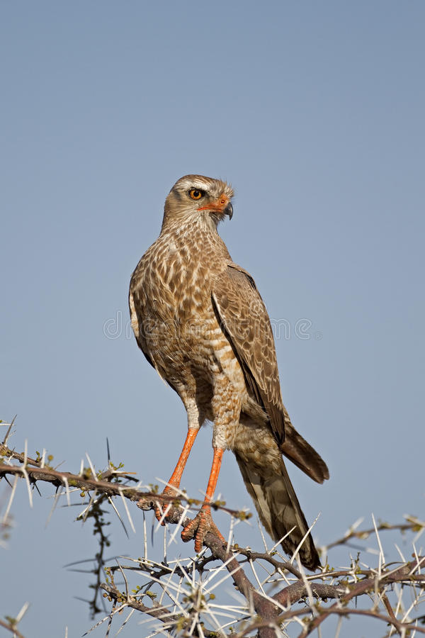 Download Close-up Of Juvenile Southern Pale Chanting Goshaw Stock Photo - Image: 21250960