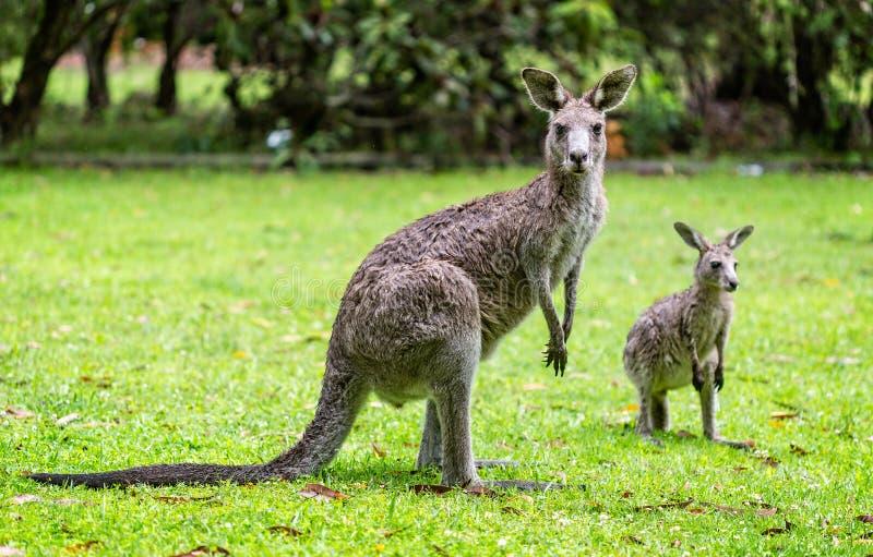 Close up of 2 Kangaroos stock photo