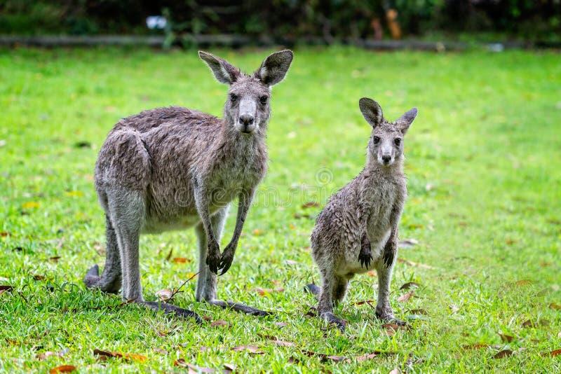 Close up of 2 Kangaroos royalty free stock photo