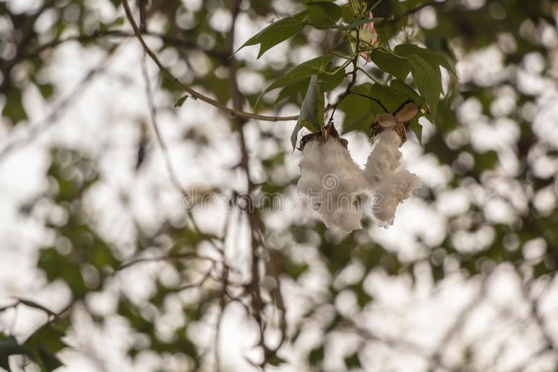 Close up Kapok Or silk white Cotton Tree.Fresh ceiba pods on tree. stock image