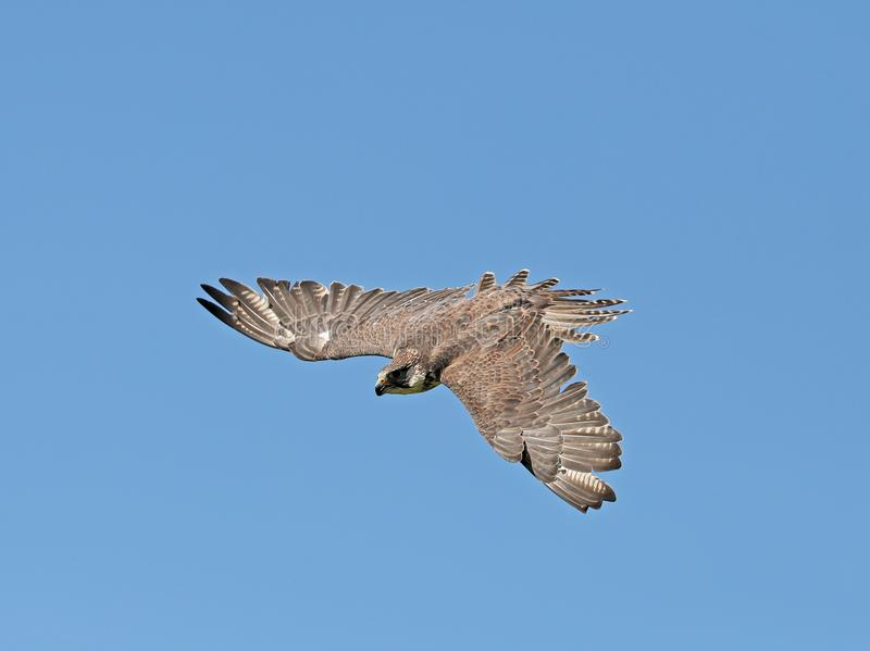 Close up of a Kestrel in flight stock photography