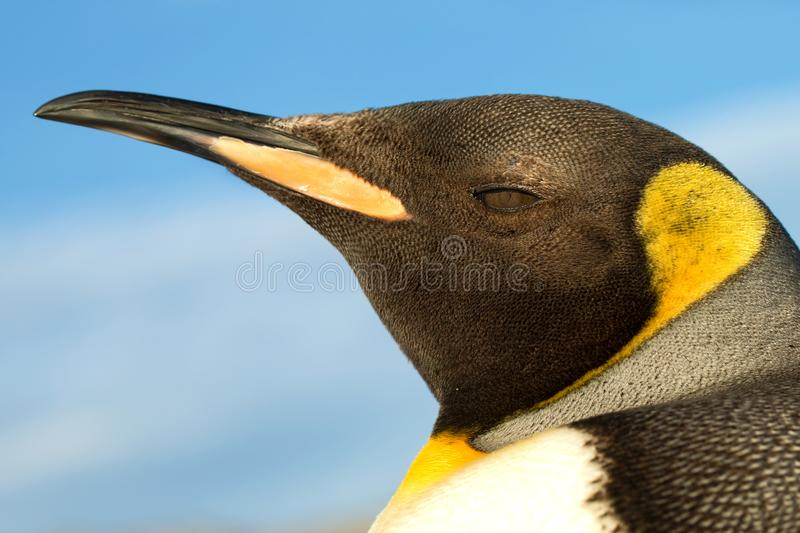 Close up of a king penguin against blue sky. Falkland islands royalty free stock photos