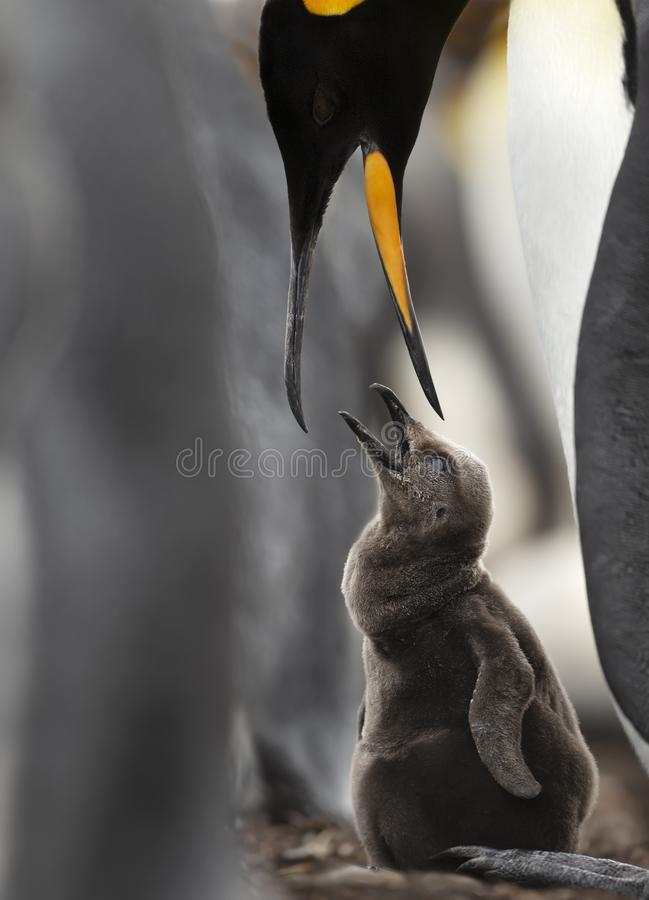 Close up of a King penguin feeding a chick royalty free stock image