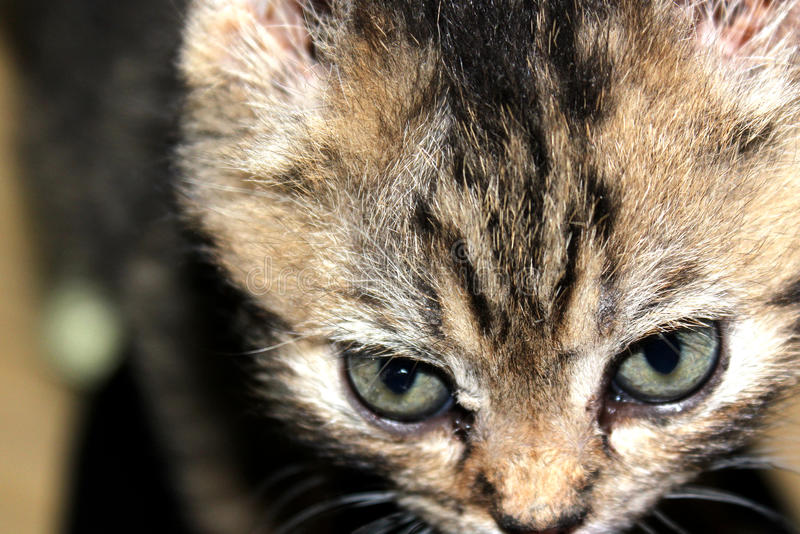 CLOSE UP OF A KITTEN`S FACE royalty free stock image