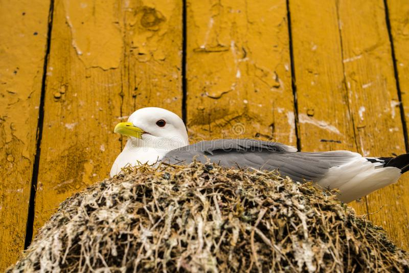 Close up of a Kittiwake Rissa tridactyla nesting on a ledge on the side of a wooden building royalty free stock photos