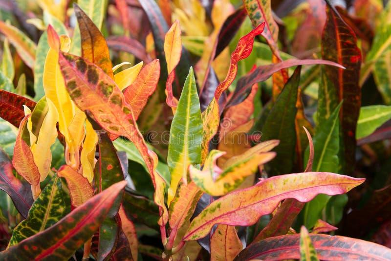 Close-up kleurrijk van de bladeren van achtergrond crotoninstallaties textuur stock foto's