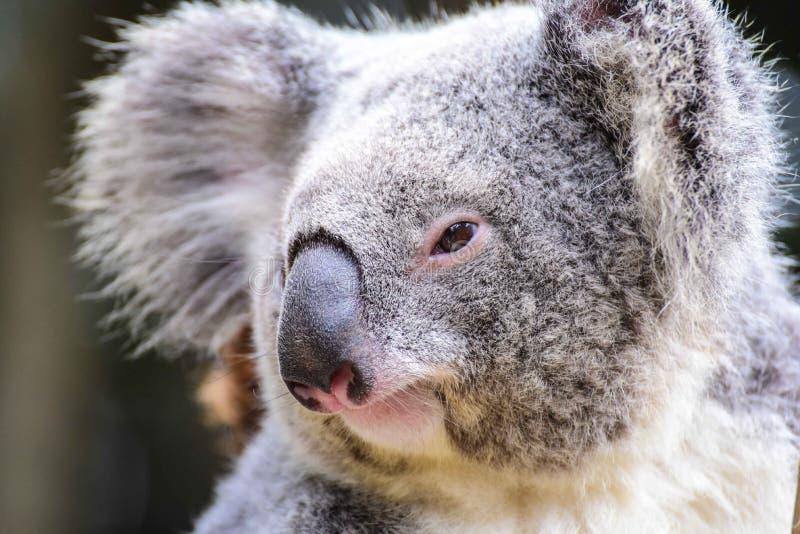 Close-Up of Koala Bear stock photography