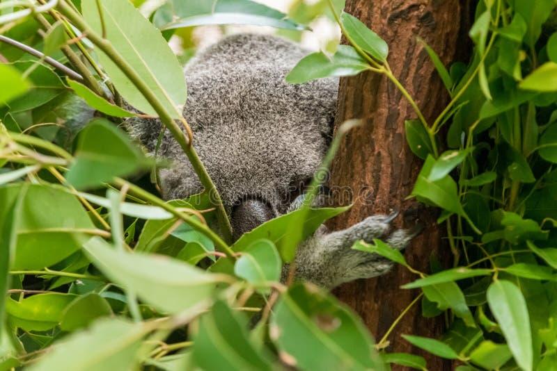 Close up of a koala bear stock image