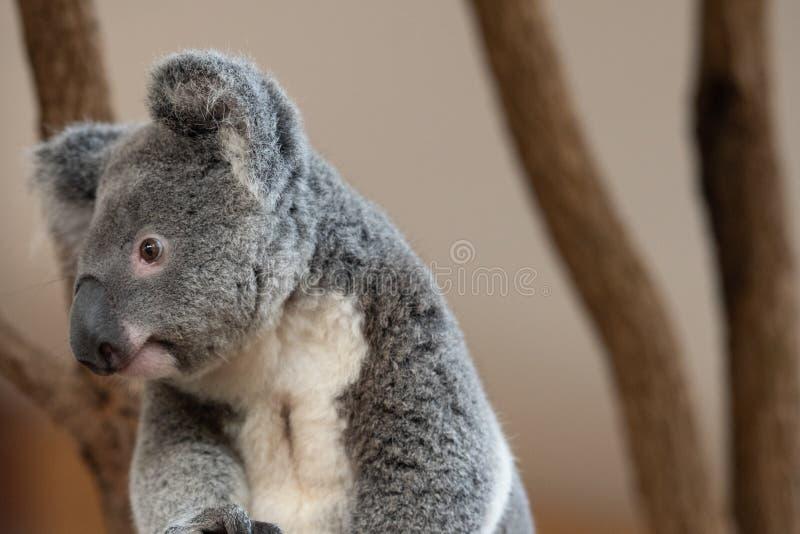 Close up of Koala Bear or Phascolarctos cinereus, sitting on branch looking to left stock photos