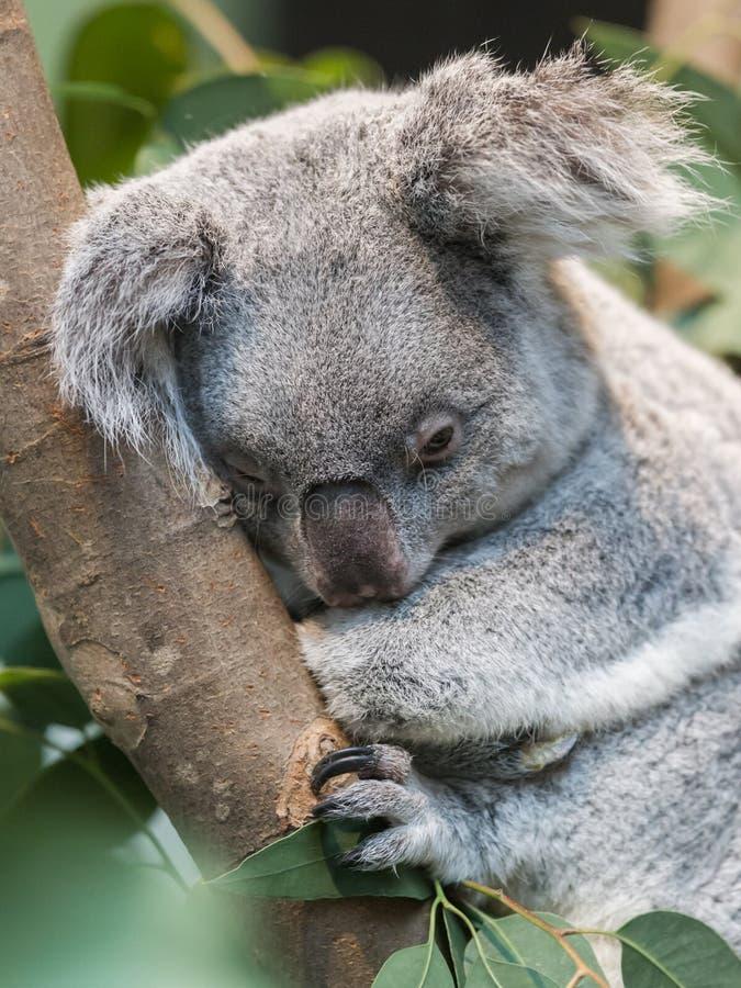 Close-up of a koala bear stock photo