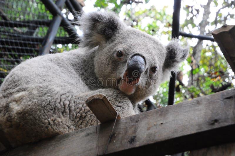 Close Up Of Koala Bear In Zoo Royalty Free Stock Photo