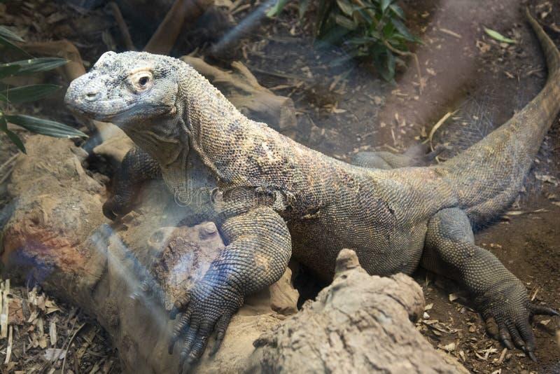Close-up of a komodo dragon at the zoo. Close-up of a komodo dragon, iguana lizzard, background, water, nature, sun, eye, animal, comodo, reptile, lizard royalty free stock image