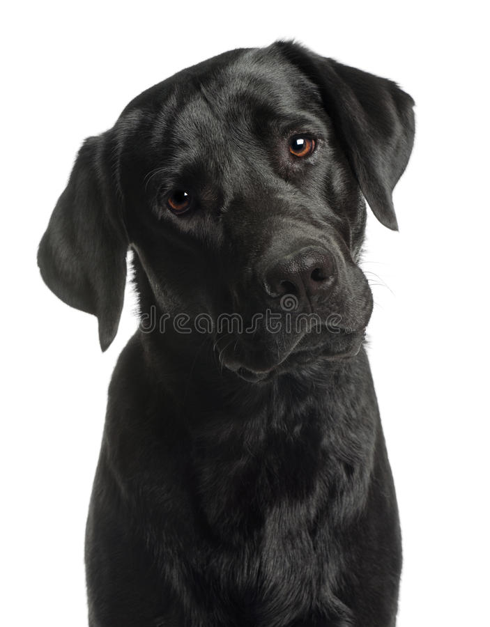 Close-up of Labrador Retriever, 10 months old. In front of white background royalty free stock photo
