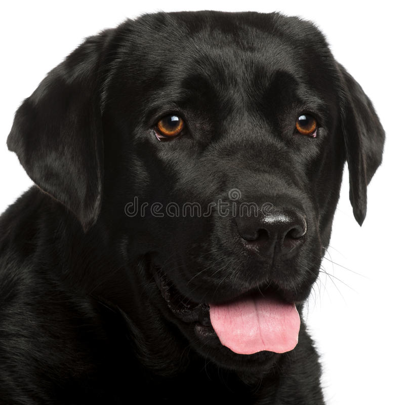 Close-up of Labrador Retriever, 3 years old. In front of white background stock photo