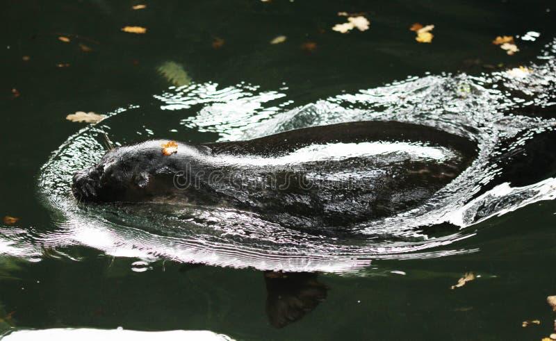 Ladoga ringed seal, Pusa hispida ladogensis royalty free stock image