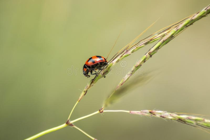 Close up of ladybird climb on grass stock photo