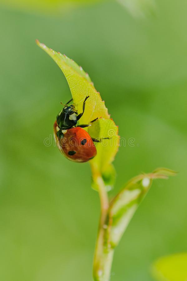 Close up of a ladybird eating greenfly. Ladybug is eating a greenfly on a leaf of a rose, vertical color macro photo royalty free stock photography