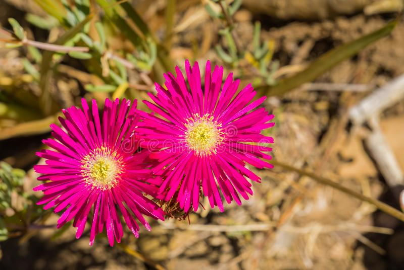 Close up of Lampranthus zeyheri iceplant, California royalty free stock image