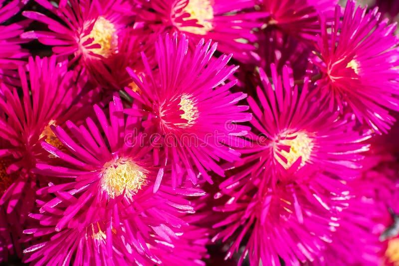 Close up of Lampranthus zeyheri iceplant, California royalty free stock photos