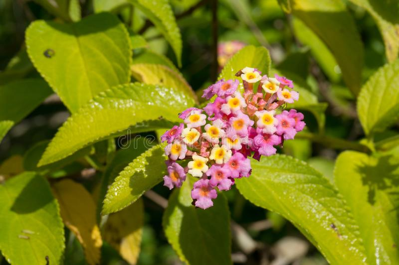 Close up of lantana flower clusters and green leaves. Nature floral background stock images