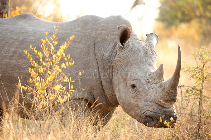Close up of a Large African White Rhino looking at the camera. In a South African game reserve on an early morning safari game drive royalty free stock photos