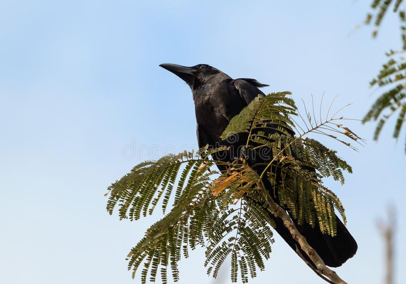 Close up Large-Billed Crow Perched on Branch Isolated on Sky stock image