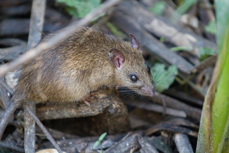 Large Brown rat in dirty water. royalty free stock photos