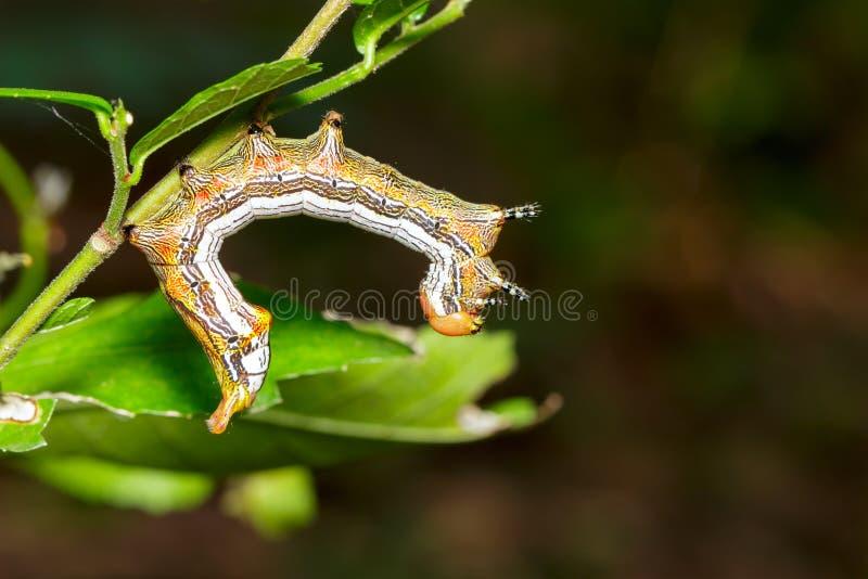 Close up of Large dragon-tailed caterpillar stock photo