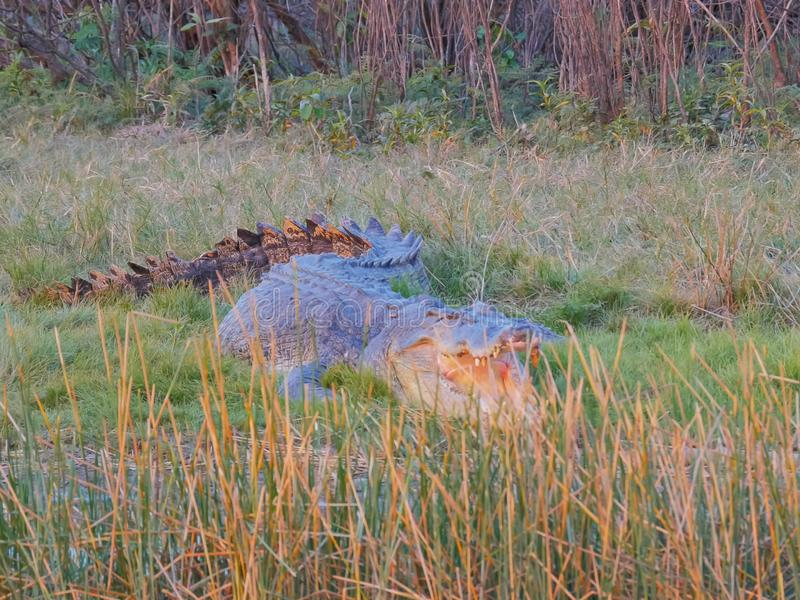 Close up of a large estuarine crocodile at corroboree billabong royalty free stock photography