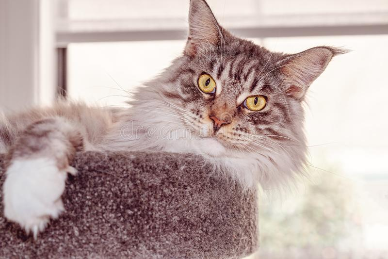 Beautiful Main Coon Cat Sitting On A Scratching Pole. Close up of a large fully grown brown and white Main Coon female cat sitting on its scratching post stock photos