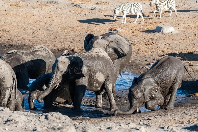Close-up of a large herd of Elephants Bathing an Drinking in a waterhole. A herd of African Elephant -Loxodonta Africana- taking a bath in a waterhole in Etosha stock photo