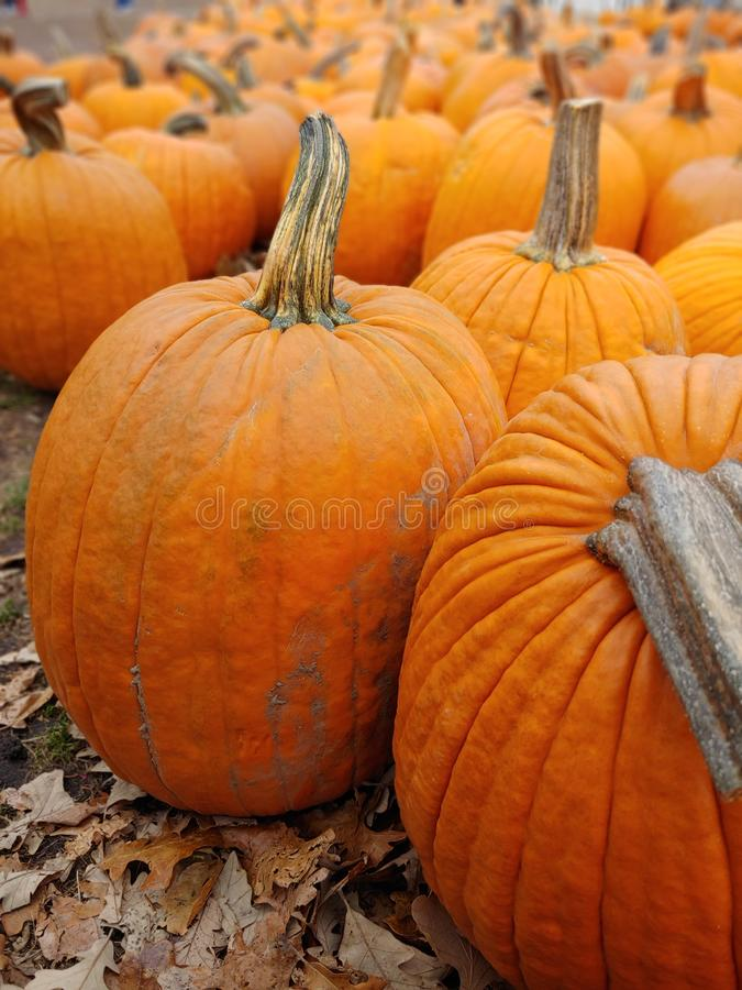 Close up of large orange pumpkins for Halloween. royalty free stock images