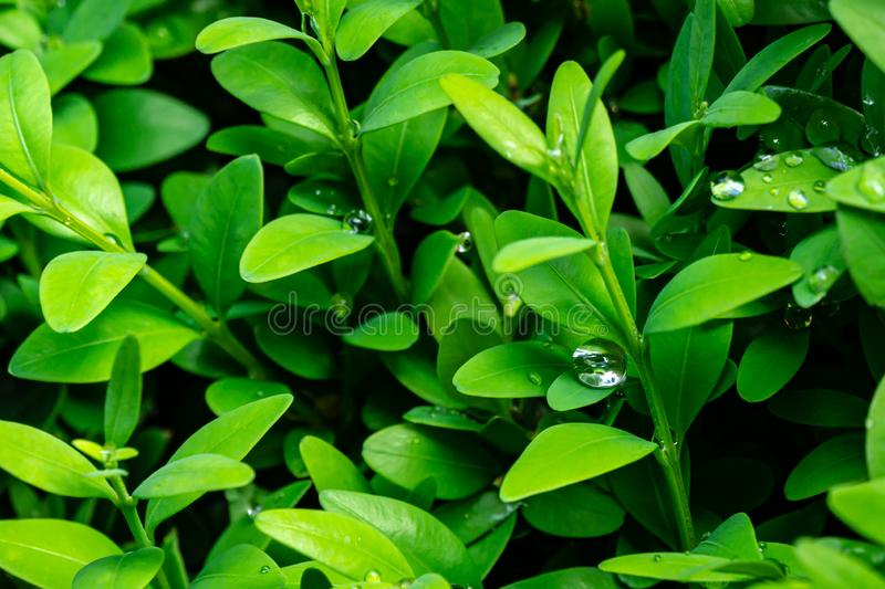 Close-up of large raindrop splashed in bright young green foliage of boxwood Buxus sempervirens as the perfect backdrop. For any natural theme. Boxwood wall in stock photos