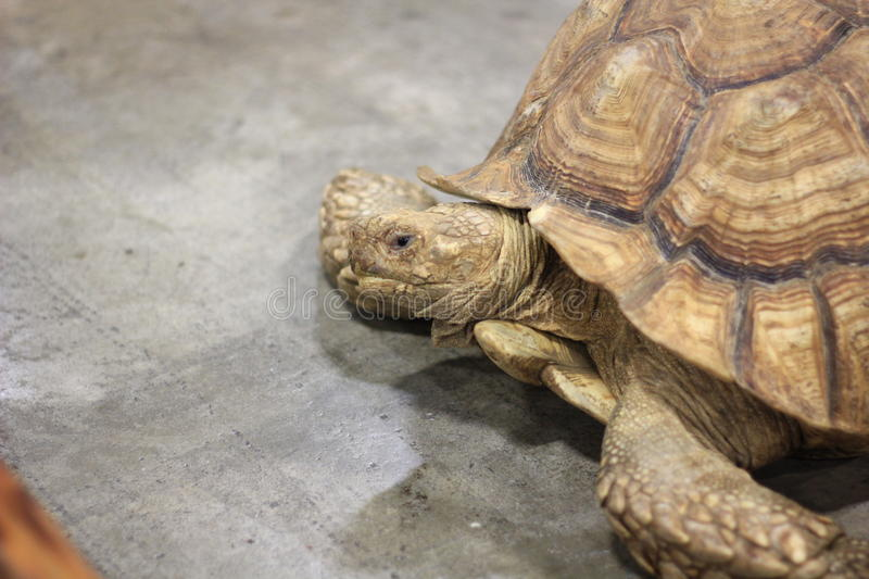 Close up of large Tortoise. Close up of Tortoise laying on a cement floor at a reptile exhibit stock photos