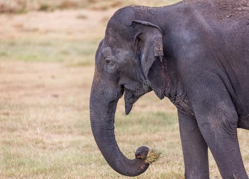 Close up of large wild Indian elephant with mouth full of grass royalty free stock photos