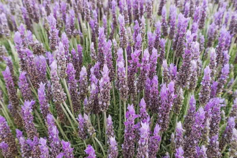 Close-up of lavender flowers stock image