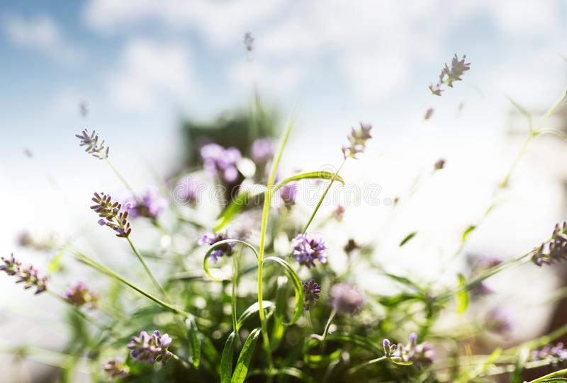 Close-up of lavender plant against blue summer sky stock photos